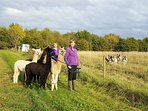 Guests taking a walk with our alpacas