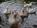 Meet the resident geese