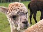 Meet our friendly alpacas