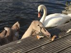 Feeding the Swans at Swallowdale