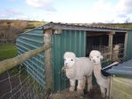 Guests are invited to interact with the resident Alpacas