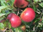 Choose apples or plums from the garden (when in season!).