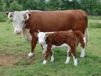 Resident farm animals