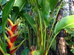 Driveway Heliconia