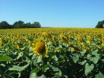 View from the garden of the surrounding fields of sunflowers