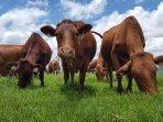 Angus/Brangus red cattle which are located on the farm.