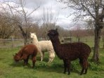 Three of our alpacas