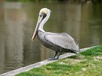 No wonder Pelican Watch got its name after this beautiful bird!