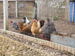 Say hello to your friendly neighbors - the house chickens!