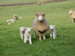 Some of our sheep