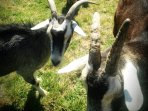 Goats - feeding available by request and weather dependent