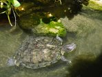 Baby turtle in the Lotus pond