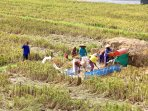 harvest of the ricefields in front of the villa, once every 3 months