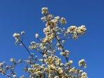 Blossom under Suffolk's big blue skies
