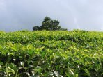 white tea plantation, where tea tours and tasting possible is 15 minutes away.  Herman teas