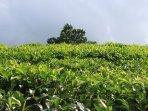 Famous for white tea, Hadunagoda tea plantation 15 minutes away, tea tours, tasting can be aranged.