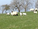 Spring lambs enjoying the sunshine