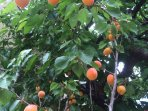 Plenty of apricots in the garden and cherries. Help yourself.