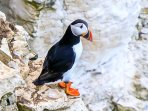 The cliffs at North Landing is the best place to see the puffins. photo credit Rod Newton