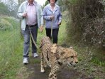 Walking a cheetah - a great experience!