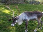 Cairngorm reindeer.