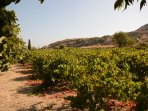 your vineyard for free sultana seedless grapes