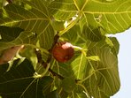 your fig tree for free figs