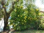 Garden shrub in bloom