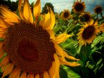 Sunflowers surround La Grange during summer months