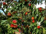 Find peaches and walnuts during late summer and early autumn