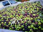 Olive bio per la produzione del nostro olio