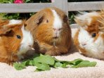 Interactive animal feeding with our resident guinea pigs.  A highlight for our younger guests.