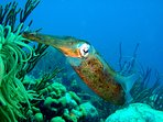 Squid on the reef