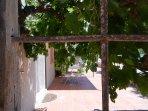 Grape vines on the terrace
