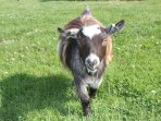 Cassie one of our pigmy goats