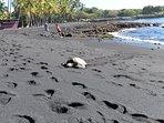 Honu resting on the Black sand beach