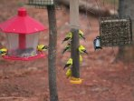 Late spring the Gold Finches turn bright yellow. Visitors include Nuthatches, Bluebirds, woodpeckers
