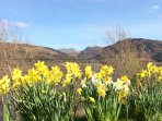 Daffodils in the spring at Taigh a' Bhraoin