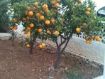 Plenty of Orange, Lemon, Fig and Fruit trees in our garden