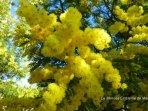 Le mimosa emblème de Mandelieu la Napoule