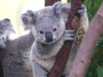 You'll spot plenty of these guys hanging around the house in the gumtrees