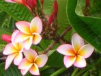 The scent of Plumeria blossoms fills the air