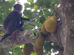 Monkeys in our jack trees