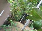 fleurs et fruits exotique dans le jardin