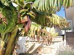 Banana tree at entrance for Koumasia Breeze