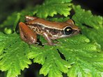 The famous Coqui, a little frog native from Puerto Rico