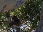 Koalas and Kangaroos