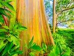 Rainbow eucalyptus trees on the way to Hana.