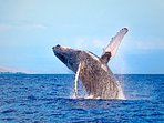 Humpback Whale watching tours.
