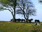 'wild horses' on the Quantocks